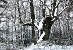 Linde-im-Schnee-2